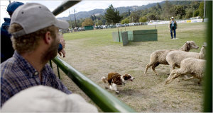 Sheep_dog_trials